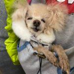 高齢犬トリミングpeachdogトイプードル20歳a