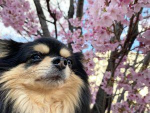大田区桜『陽光桜』れお花見