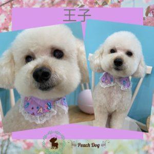 大田区蒲田トリミングサロンPeach Dog,トイプードル王子2003HP