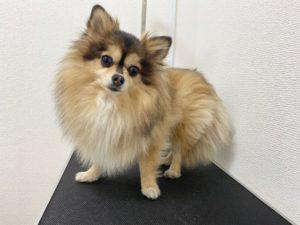 大田区トリミングサロン,mix犬200428d