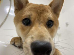 大田区トリミングサロン,柴犬200613c