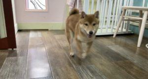 大田区トリミングサロン,柴犬200917
