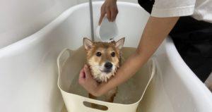 大田区トリミングサロン,柴犬201018g