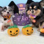 【Happy♥Halloween】わんこちゃん仮装,大田区蒲田トリミングサロンPeach Dog20/10