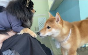 大田区トリミングサロン,柴犬201121o