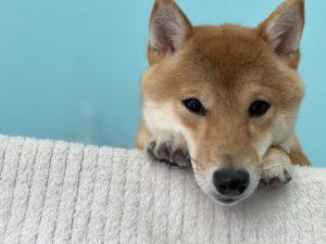 大田区トリミングサロン,柴犬201121